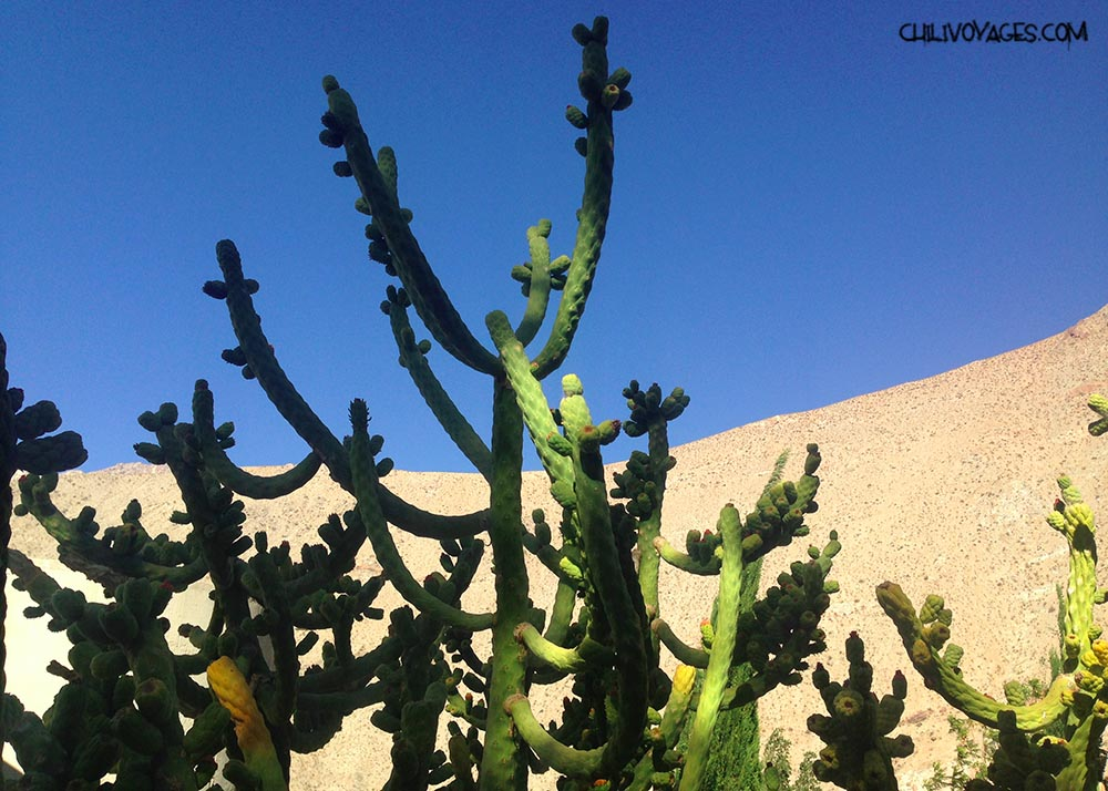 cactus vallee elqui