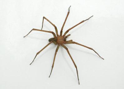 araignée chili