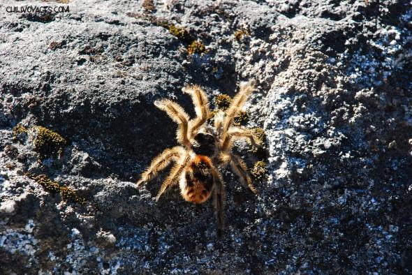 araignée du chili