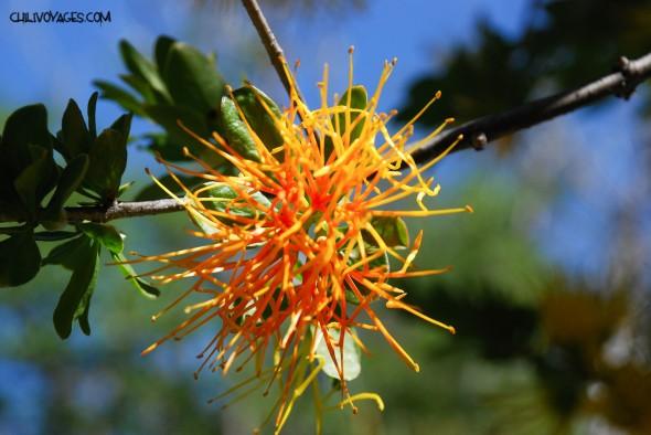 fleur chili