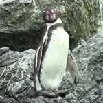 Manchot de Humboldt : Où le rencontrer ? [vidéo]